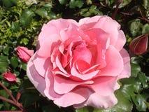 Geblühte rosa Rose Stockfotografie