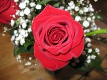 Geblühte Rose Stockfoto