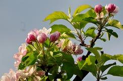 Geblühter Baum - Apfel Lizenzfreie Stockfotos