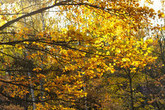 Gebladerte van de de herfstbomen Royalty-vrije Stock Foto