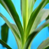 Gebladerte van de palm van huisyukka, vierkante richtlijn royalty-vrije stock foto
