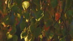 Gebladerte van een berk bij zonsondergang stock footage