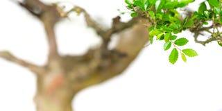 Gebladerte van een boom van de parvifoliabonsai van iepulmus Stock Fotografie