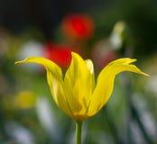 Gelbe Tulpe Stockfoto