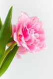 Geblasene rosa Tulpe Stockfoto