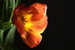 Geblasene rote Tulpe Stockfotos