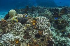 Gebleekt koraalrif en blauwe chromis Royalty-vrije Stock Foto's
