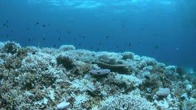Gebleichte Korallen stock footage