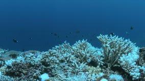 Gebleichte Korallen stock video