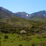 Gebloeide die fruitboom in de bergen door paarden en koeien worden omringd Stock Foto