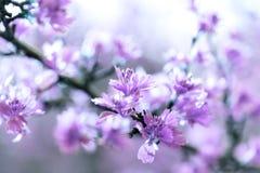 Gebloeide die takken en de lentebladeren met purple worden gemaakt - roze filterkleur stock foto's