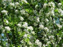 Gebloeide kersenboom Royalty-vrije Stock Fotografie