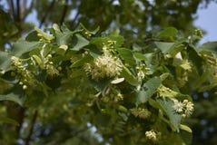 Gebloeide tak van Tilia-boom stock foto