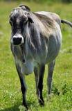 Gebo, conhecido às vezes como o gado humped imagem de stock royalty free