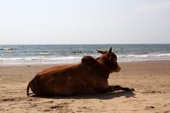 Gebo da vaca na praia fotos de stock