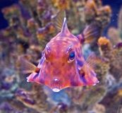Gebochelde turretfish 1 Royalty-vrije Stock Foto's