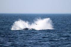 Gebocheldewalvis in Atlantische Oceaan dichtbij Boston Stock Afbeeldingen