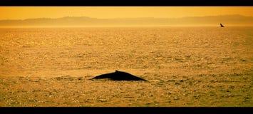 Gebocheldewalvis bij Zonsondergang stock foto's