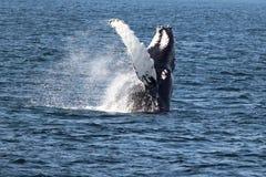 Gebocheldewalvis in de Atlantische Oceaan Royalty-vrije Stock Fotografie