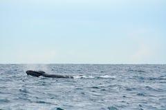 Gebocheldewalvis in de oceaan Royalty-vrije Stock Afbeelding