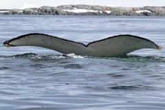 Gebocheldewalvis die in de Antarctische wateren met whit duikt Royalty-vrije Stock Fotografie
