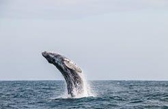 Gebocheldewalvis die in de Peruviaanse Vreedzame Oceaan springen Eerste rek stock foto's