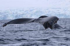 Gebocheldewalvis die in het water van het Antarctische Schiereiland duiken Stock Foto's