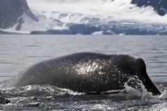 Gebocheldewalvis die terug in het water in de nevel van duiken Stock Afbeelding