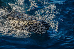 Gebocheldewalvis, Hervey Bay, Australië royalty-vrije stock foto's