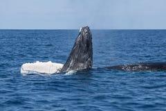 Gebocheldewalvis het Spelen aan Oppervlakte van de Caraïben Stock Foto