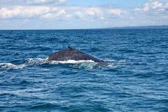 Gebocheldewalvis Zijn naam is of gepast aan de dorsale vin, een vorm die op een bult lijken, of van de gewoonte van sterk terug h royalty-vrije stock foto