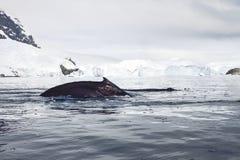 Gebocheldewalvissen in Antarctica Stock Afbeelding