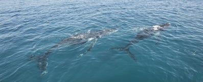 Gebocheldewalvissen in Hervey Bay Australia stock afbeelding