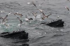 Gebocheldewalvissen het Voeden Aan Oppervlakte van Oceaan door zeemeeuwen wordt omringd die Royalty-vrije Stock Afbeeldingen