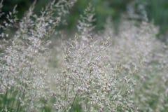 Gebogen van Agrostiscapillaris gemeenschappelijke, koloniale neiging, browntop bloeiend gras royalty-vrije stock foto