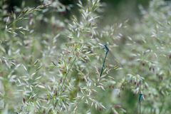 Gebogen van Agrostiscapillaris gemeenschappelijke, koloniale neiging, browntop bloeiend gras stock afbeeldingen