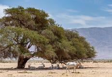 Gebogene gehörnte Antilope Wüstenkuh u. x28; Wüstenkuh nasomaculatus& x29; Stockfotografie
