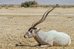 Gebogene gehörnte Antilope Wüstenkuh u. x28; Wüstenkuh nasomaculatus& x29; Stockfotos