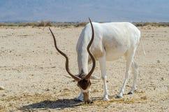 Gebogene gehörnte Antilope Wüstenkuh (Wüstenkuh nasomaculatus) Stockfotografie