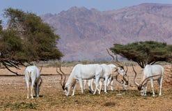 Gebogene gehörnte Antilope Wüstenkuh (Wüstenkuh nasomaculatus) Stockfoto