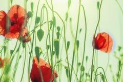 Gebogene grüne Mohnblumenstämme und rote Blumenknospen Stockfotos