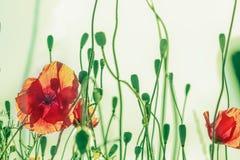 Gebogene grüne Mohnblumenstämme und rote Blumenknospen Lizenzfreies Stockbild