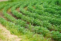 Gebogene Reihen von Getreideanbau der grünen Soyabohne Stockbild