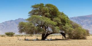 Gebogenes gehörntes Antilope Wüstenkuh-Wüstenkuh nasomaculatus Lizenzfreie Stockfotos