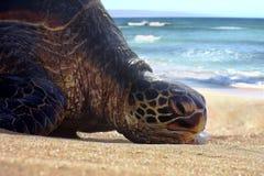 Gebohrte u. faule Meeresschildkröte, die, Faulenzen, nehmend auf Maui-Sandstrand stillsteht ein Sonnenbad Stockfotos