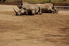 Gebohrten Rhinos Stockfoto