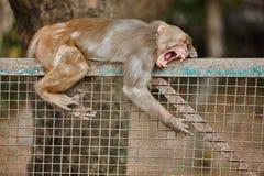 Gebohrter Affe auf einem Zaun Stockfotografie