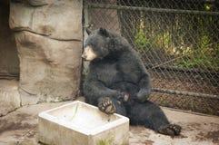 Gebohrter schwarzer Bär Stockfotografie