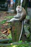 Gebohrtes Affe sittink auf einem Baumstamm im Affewald in Bali Lizenzfreie Stockbilder