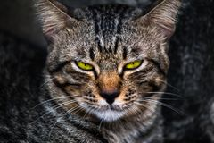 Gebohrtes Gesicht einer Katze Stockfotografie